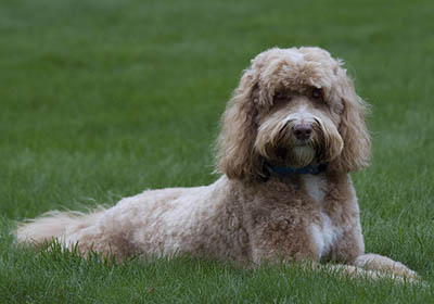 Labradoodle on the grass