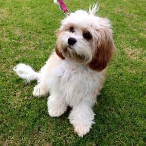 Maltalier Dog breed