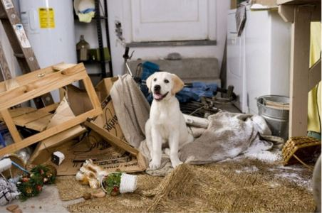 labrador puppy room destruction