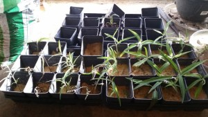 Cuttings of Mexican Sage