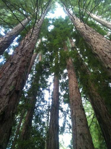 Redwood forest of Santa Cruz