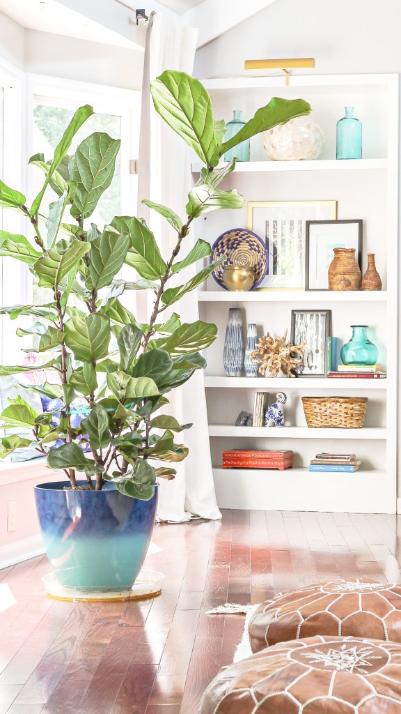 how to care for a fiddle leaf fig when you have a black thumb