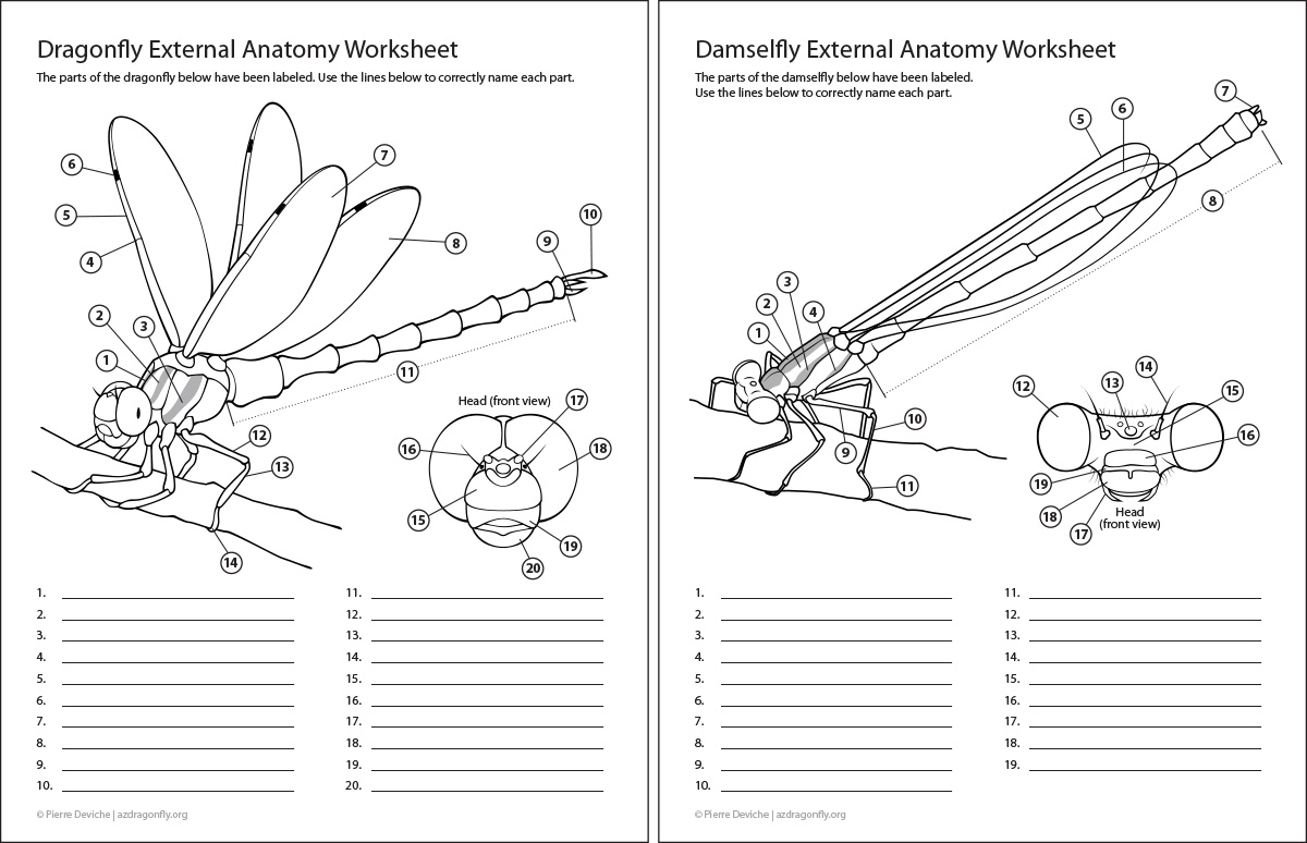 Download Damselfly Coloring For Free