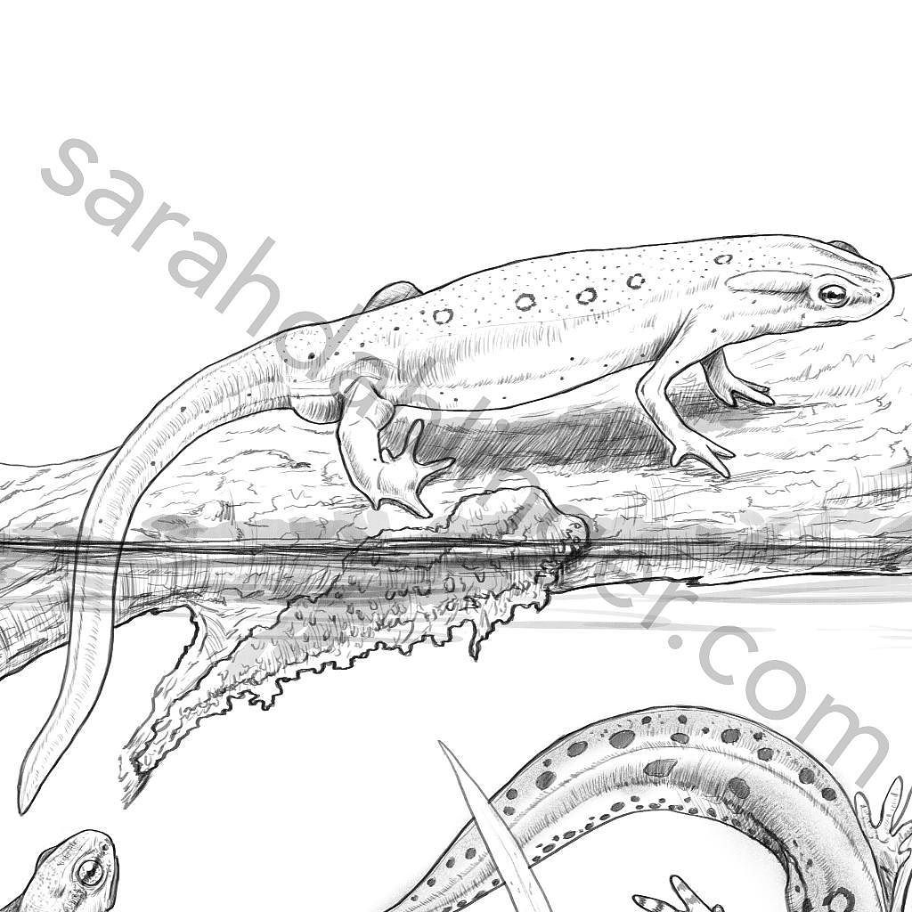 Eastern Newt Coloring Download Eastern Newt Coloring