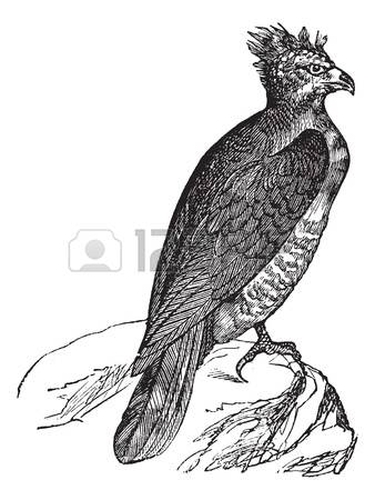 Harpy Eagle clipart, Download Harpy Eagle clipart for free ... (338 x 450 Pixel)