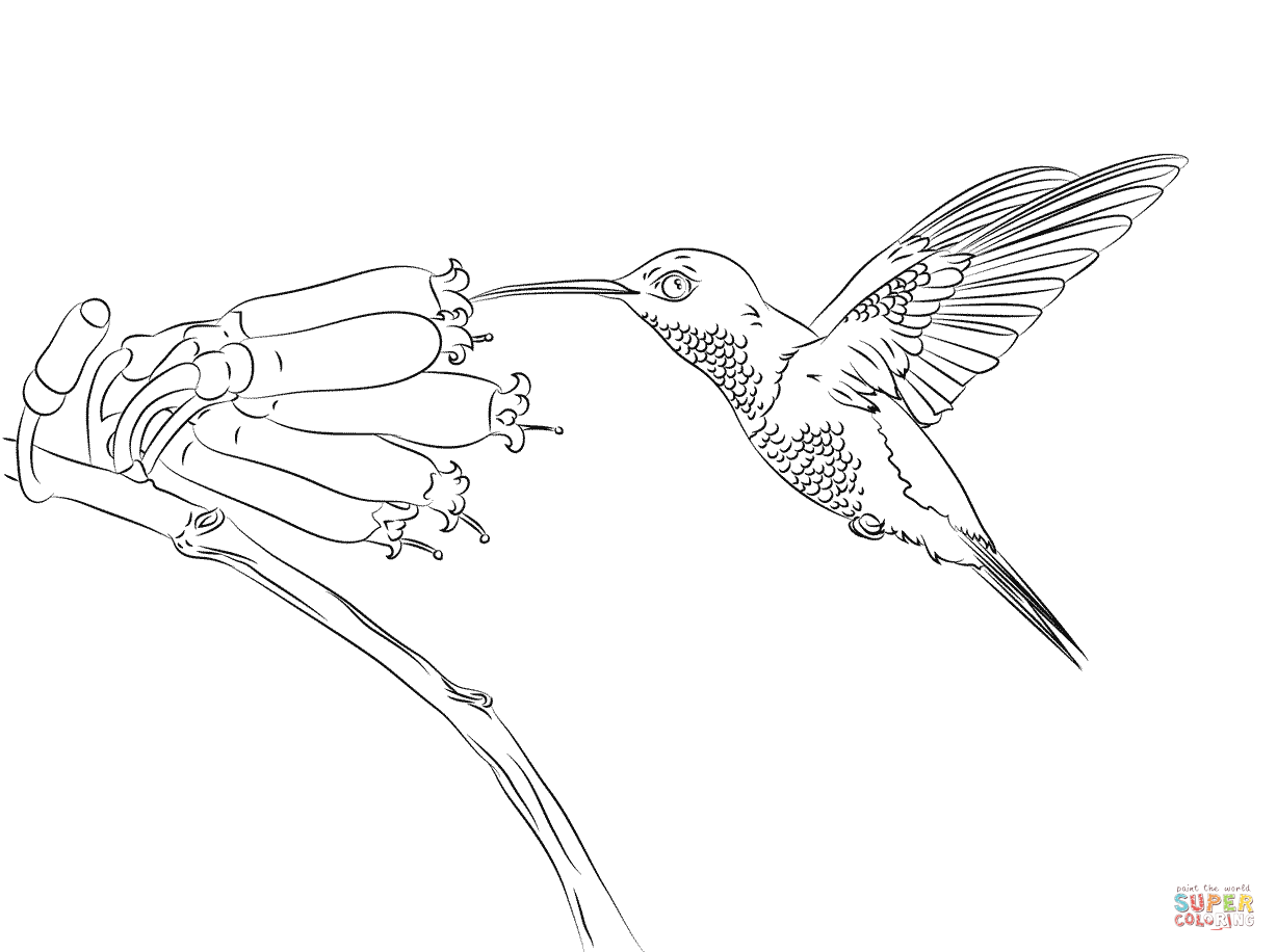 Download Hummingbird Coloring For Free