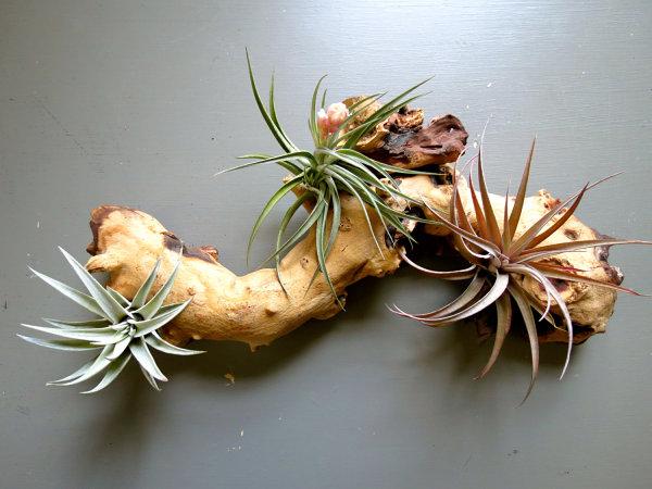 Tillandsia La Plante Tropicale Crative Pour Un Dcor Nature