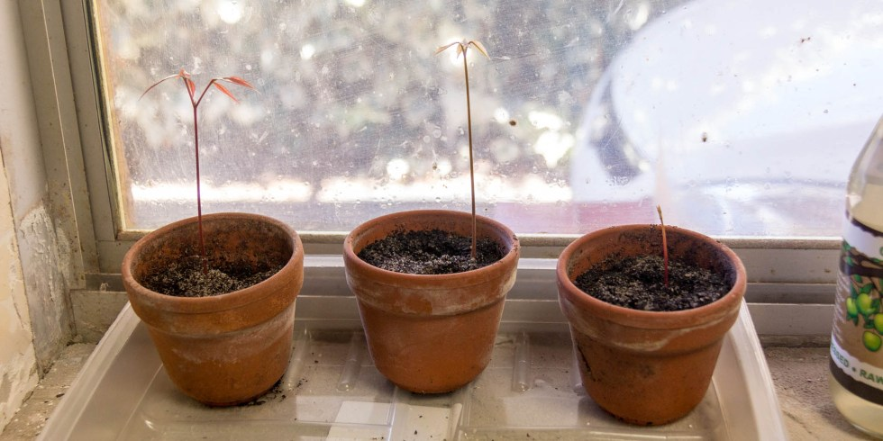 20/01/15 Day 20: Lychee seed germination experimentation Seeds in zip lock bag potted and doing well