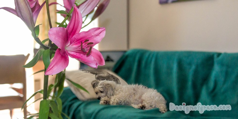 Penny thinks she is human.. she is sleeping on a pillow. Juxtapose with a beautiful blooming flower:)