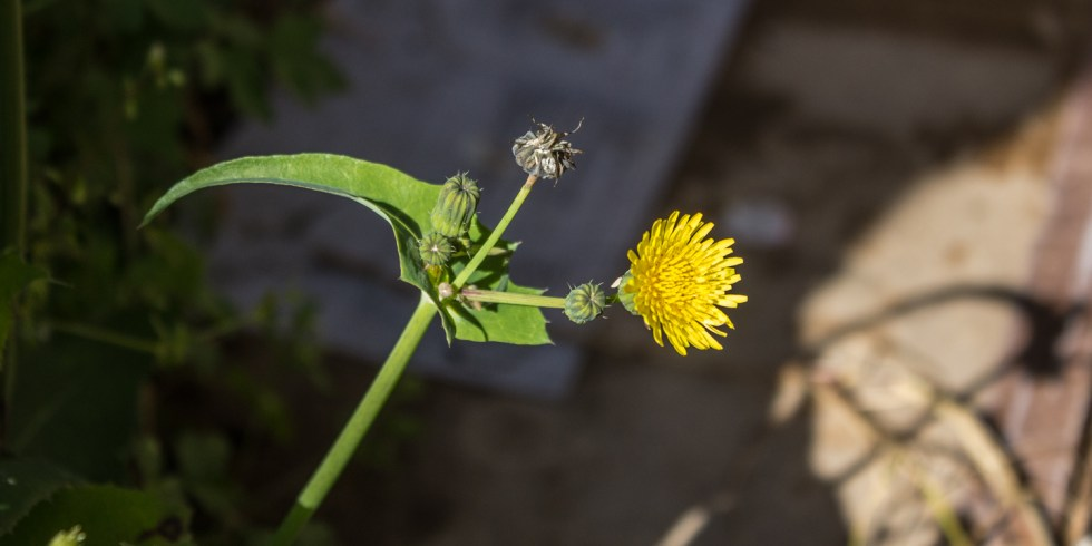 sow thistle 06
