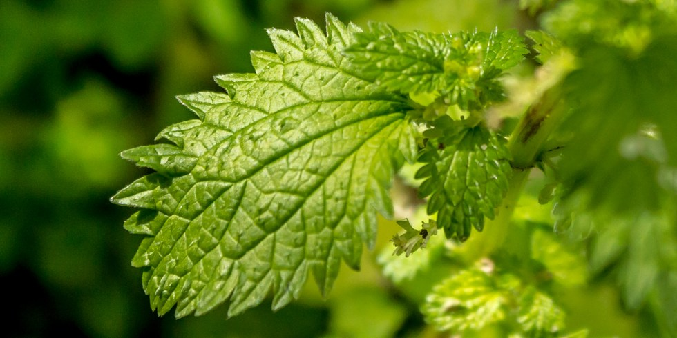 Close up of the stinging nettles leaves
