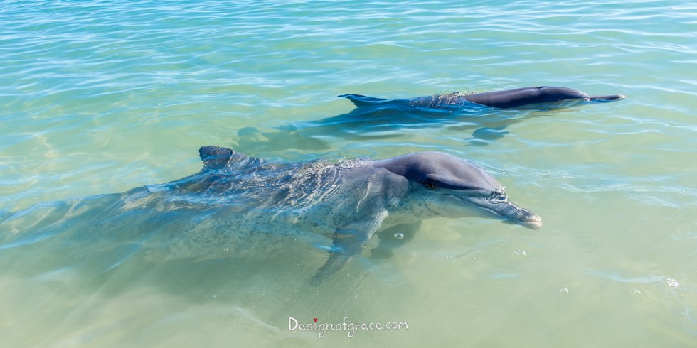 2 dolphins in the water, the one in front looking at you!