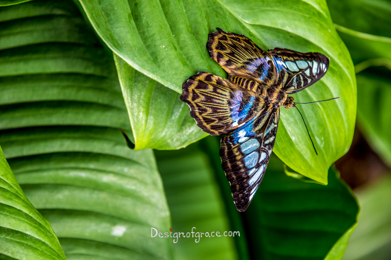 backdrop of green leaves with black and blue butterfly with intricate patterns on it's wings