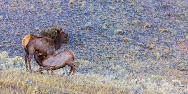 Mother deer feeding her fawn on a rocky background and some grass, Yellowstone National Park, Montana, USA