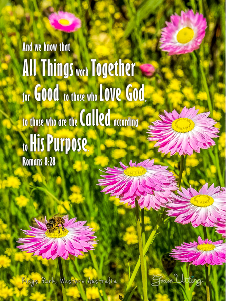 """Kings Park pink paper flowers with a bee with green and yellow plants in the background with the text """"And we know that all things work together for good to those who love God, to those who are the called according to His purpose. Romans 8:28"""""""