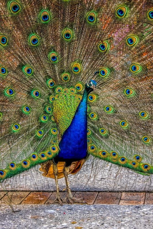 A beautiful blue peacock with its colourful plumage opened