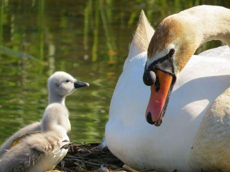 Swans At Gravetye Manor