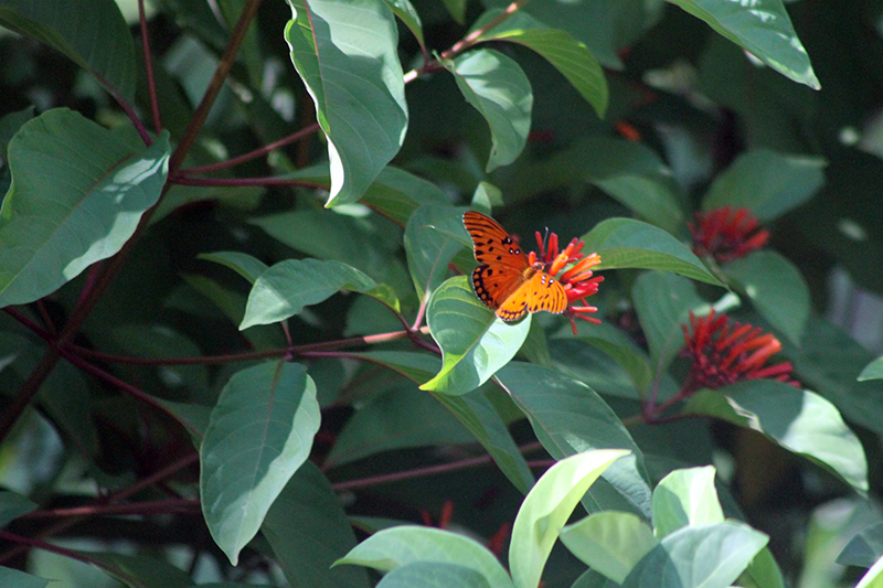 In the Garden -- Hamelia