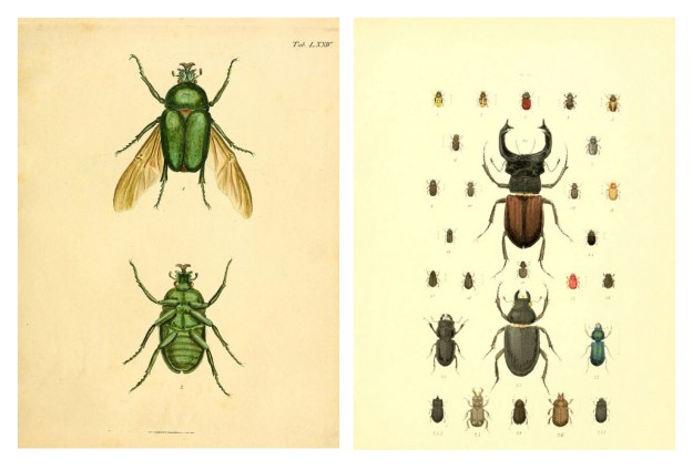 BHL Archive Entomology Natural History Insect Beetle Illustrations