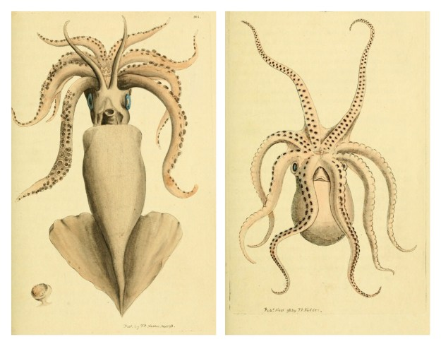 BHL Archive Entomology Natural History Squid Octopus Illustrations