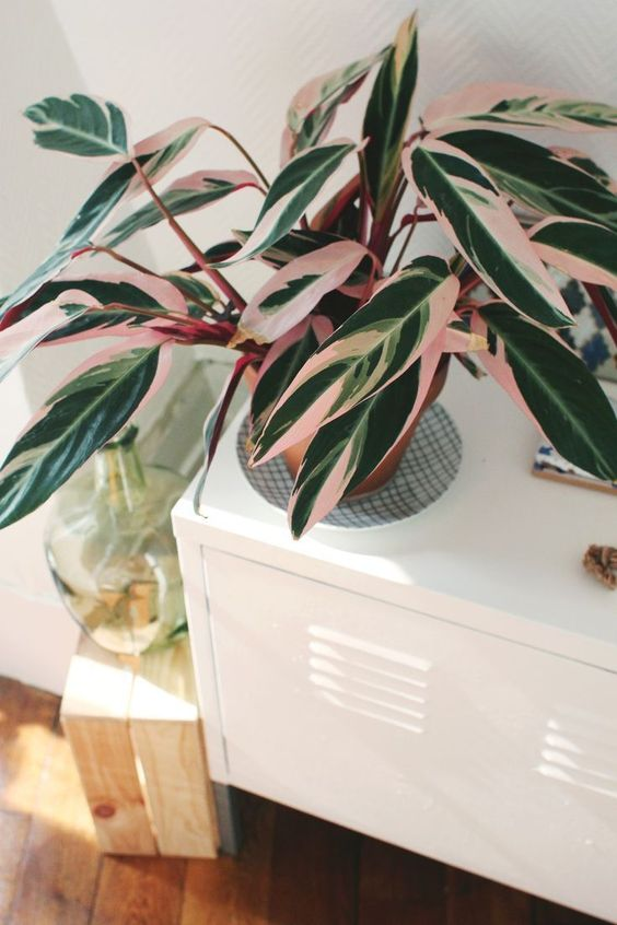 calathea cat safe house plants that are not toxic to pets
