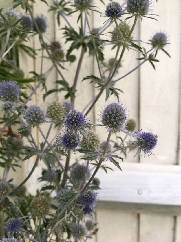 Blue Thistles Garden