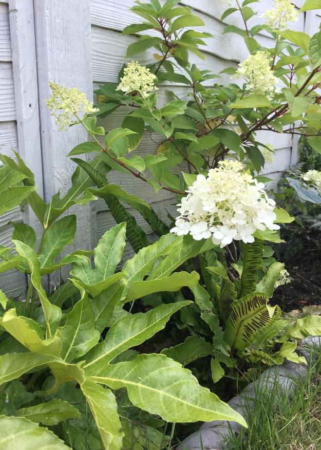 Climbing hydrangea white