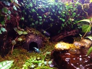 Bronze and turquoise auratus dart frog