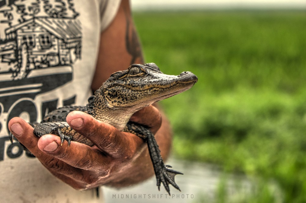 A baby alligator rests in the airboat captain's hands.