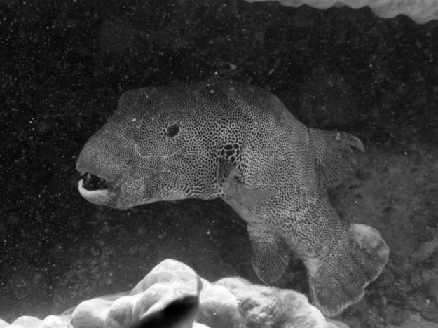 Big, old pufferfish
