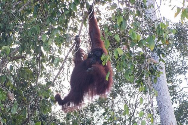 Kinabatangan orangutan