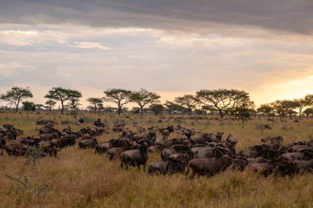 Wildebeest migration in the Western Serengeti