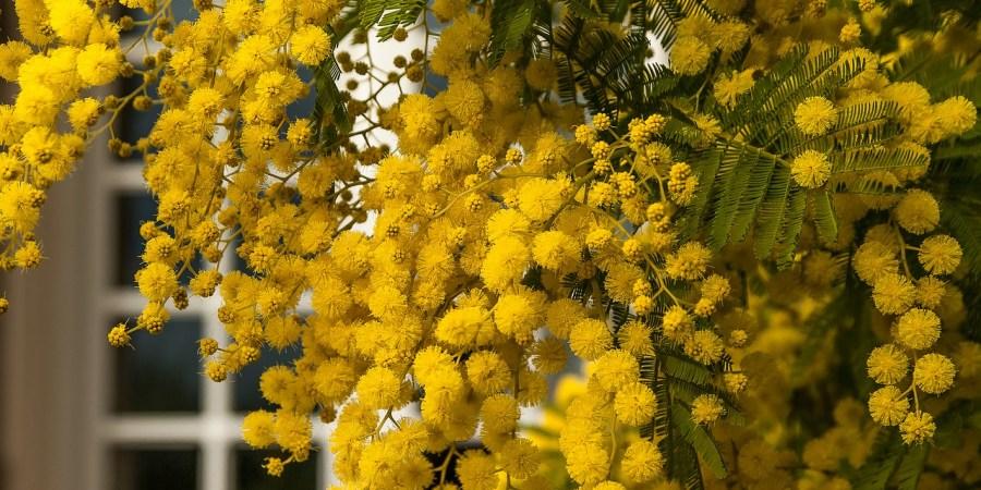 ispirazione mimosa