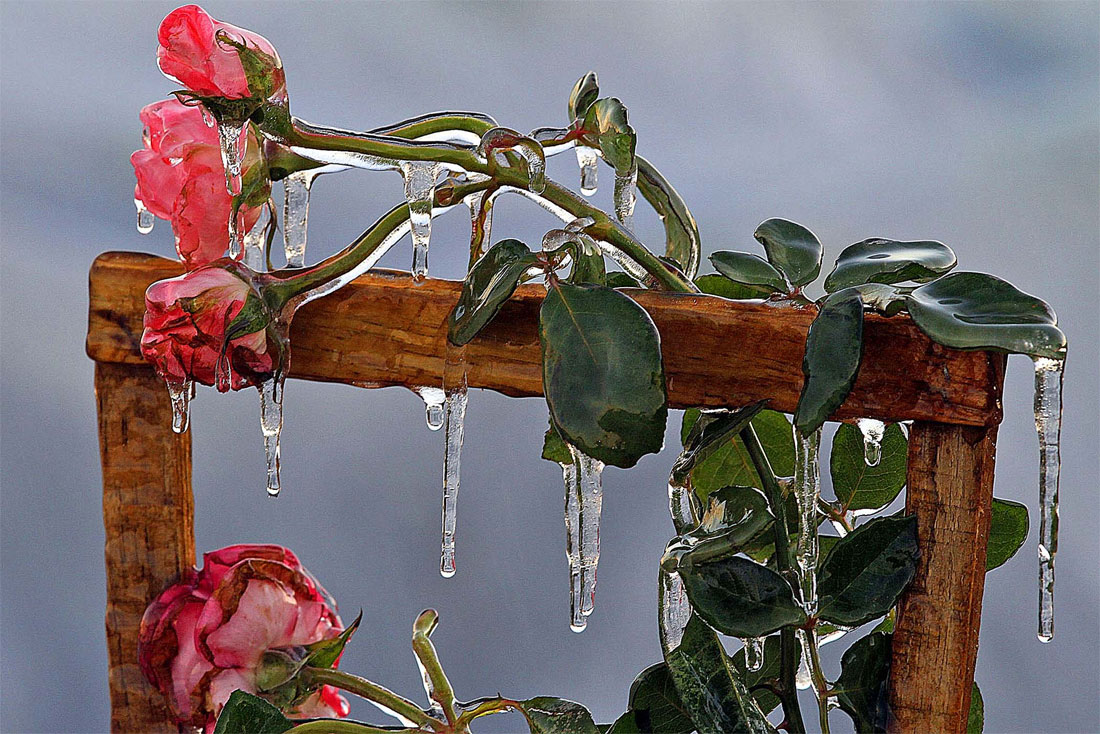 1182 Photo of the Day: Frozen Roses
