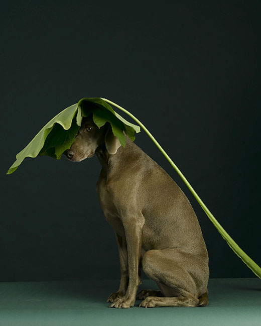 william wegman 03 Dog Portraits by William Wegman