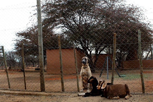 322 Dogs Ease Namibias Cheetah farmer Conflicts