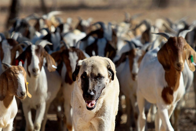 619 Dogs Ease Namibias Cheetah farmer Conflicts