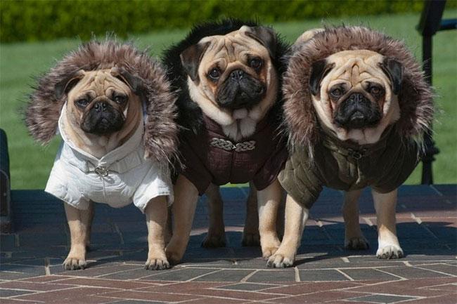 1092 Pugs in Fancy Dress