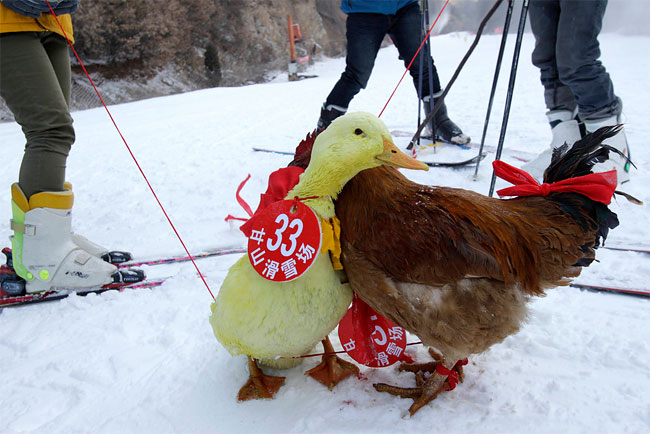 4111 Pets and their Owners Take to the Ski Slopes in China