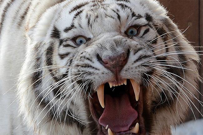 256 Rare White Lion Cubs Born at Polish Zoo