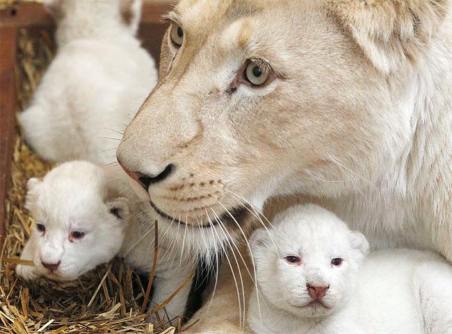 348 Rare White Lion Cubs Born at Polish Zoo
