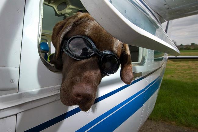 454 British Pet Dog Gets Co Pilot License