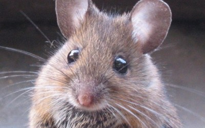Ratón doméstico (Mus Musculus)