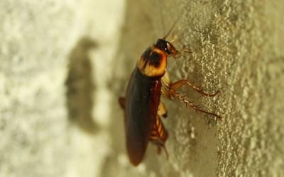 Eliminar plaga de cucarachas