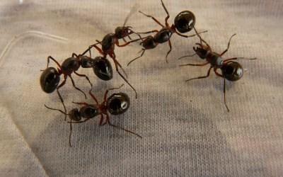Eliminar plaga de hormigas