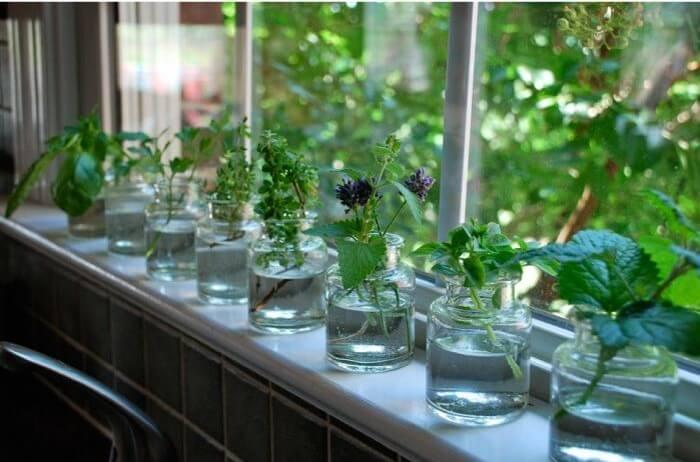 10 hierbas medicinales que puedes crecer en agua dentro de casa -  Desinformémonos
