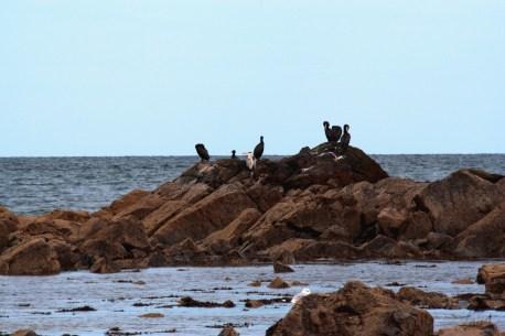 Le Héron et des cormorans