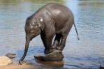 Baby Elephant Playing in River  in Coorg
