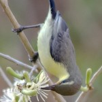 Purple Sunbird found in Hyderabad