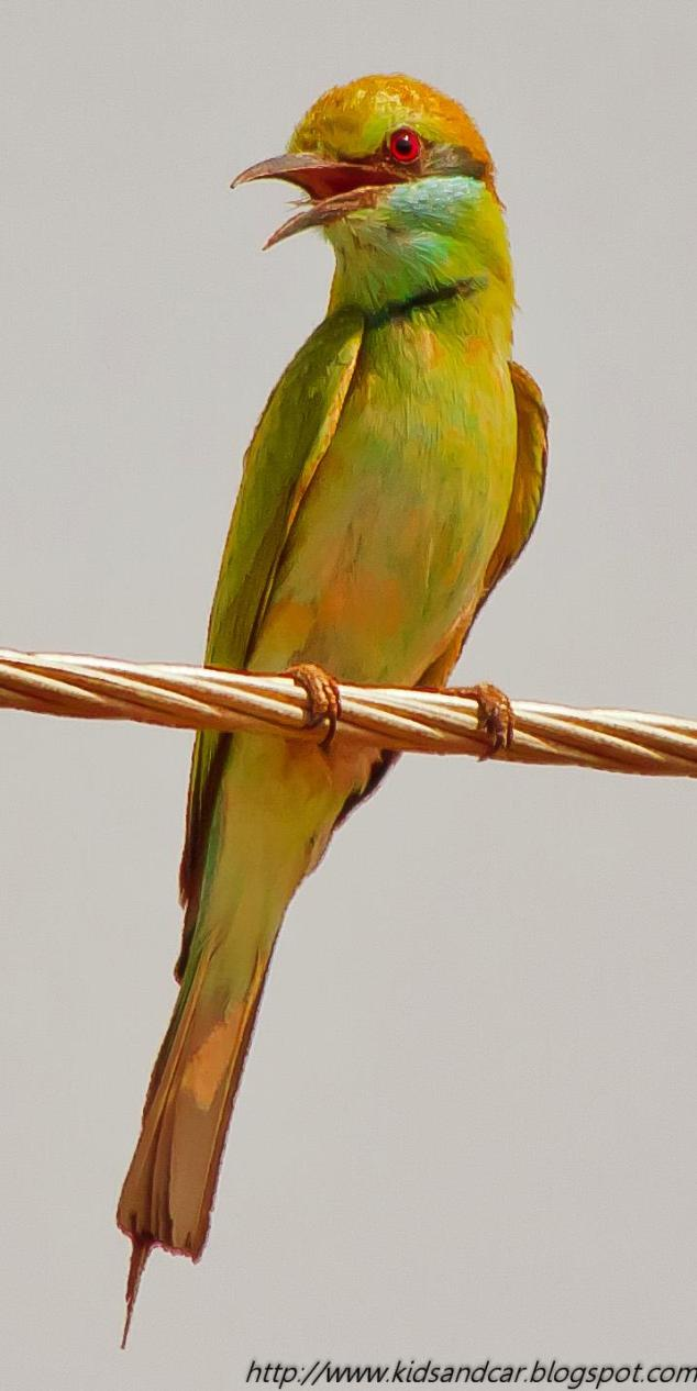 Green Bee Eater - Mrugavani National Park Hyderabad
